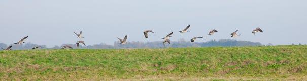 Canards dans une rangée Photo libre de droits