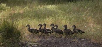 Canards dans une rangée Image libre de droits