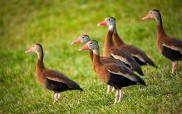 Canards dans une rangée Image stock