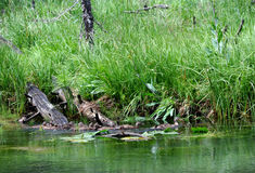 Canards dans une rangée dans Yellowstone Photographie stock