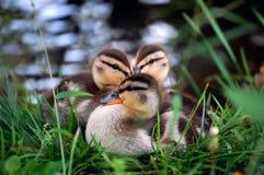 Canards de bébé Image stock