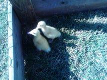 Canards de bébé Photographie stock libre de droits