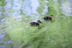 Canards de bébé Image libre de droits