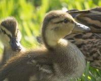 Canards de bébé Photographie stock