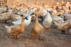 Canards de Brown dans la ferme Image stock