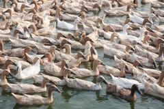 Canards de Brown dans la ferme Images libres de droits