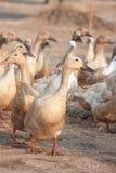 Canards de Brown dans la ferme Photos libres de droits