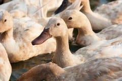 Canards de Brown dans la ferme Photographie stock