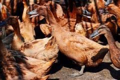 Canards de Brown dans la ferme Image libre de droits