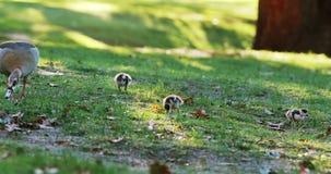 Canards de canard et de bébé mangeant l'herbe banque de vidéos