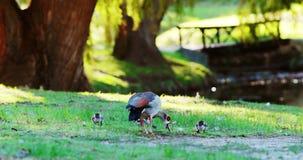 Canards de canard et de bébé mangeant l'herbe clips vidéos