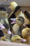 Canards de chéri Photographie stock libre de droits