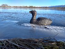 Canards de Chuchulo dans l'eau d'ing de freez du lac photo stock