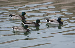 Canards de colvert Photographie stock libre de droits