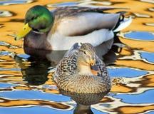 Canards de colvert sur les belles eaux colorées Image libre de droits