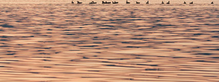 Canards de coucher du soleil Photographie stock libre de droits