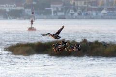 Canards de début de la matinée Photo stock