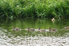 Canards de flottement Photos stock