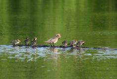 Canards de harle à capuchon lissant sur un rondin Images stock
