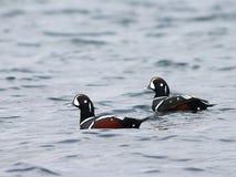 Canards de harlequin sur l'eau Photographie stock libre de droits