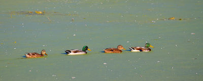 Canards de Mallard dans le lac illinois Photos stock