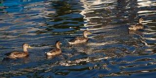 Canards de Mallard de femelles dans l'eau Images libres de droits