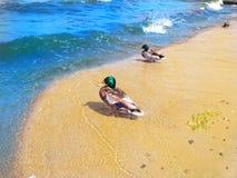Canards de Mallard par la mer photo libre de droits