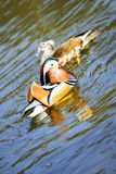 Canards de mandarine Photographie stock libre de droits