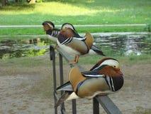 Canards de mandarine en parc allemand photo stock