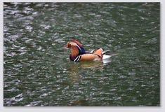 Canards de mandarine jouant dans l'eau Photographie stock