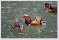 Canards de mandarine jouant dans l'eau Photo libre de droits
