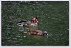 Canards de mandarine jouant dans l'eau Photo stock