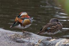 Canards de mandarine masculins et femelles se reposant sur la jambe au bord de l'eau Images libres de droits
