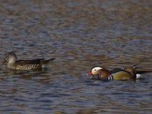 Canards de mandarine - oiseaux d'amour Images stock