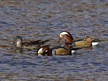 Canards de mandarine - oiseaux d'amour Photo libre de droits