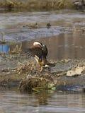 Canards de mandarine - oiseaux d'amour Photographie stock
