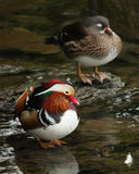 Canards de Mandrake Photo libre de droits
