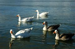 Canards de natation Image stock