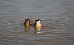 Canards de pêche en rivière images libres de droits