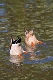Canards de plongée Photo libre de droits