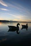 Canards de Rotorua de lac Images libres de droits