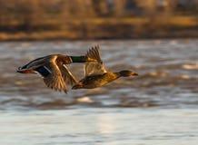 Canards de vol Images libres de droits