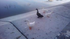 Canards des canards y de canards Photo stock