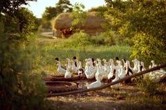 Canards domestiques Photo libre de droits