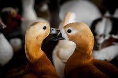 Canards domestiques Image libre de droits