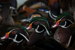 Canards domestiques Photo stock
