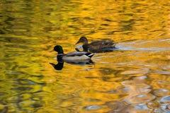 Canards en or Photographie stock libre de droits