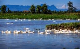 Canards en Asie Image libre de droits