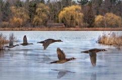 Canards en bois de ressort Photographie stock libre de droits