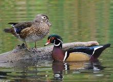 Canards en bois - sponsa d'Aix Images stock